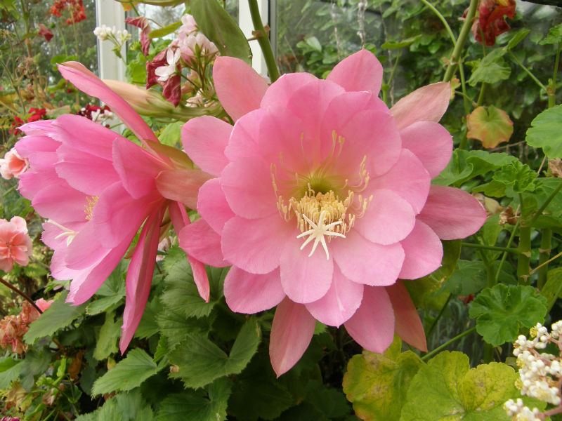 Epiphyllum London Youth