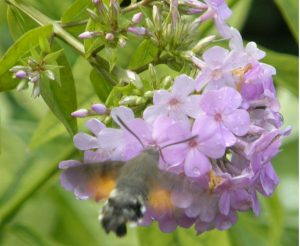 Phlos Hesperis with Hummingbird Hawkmoth