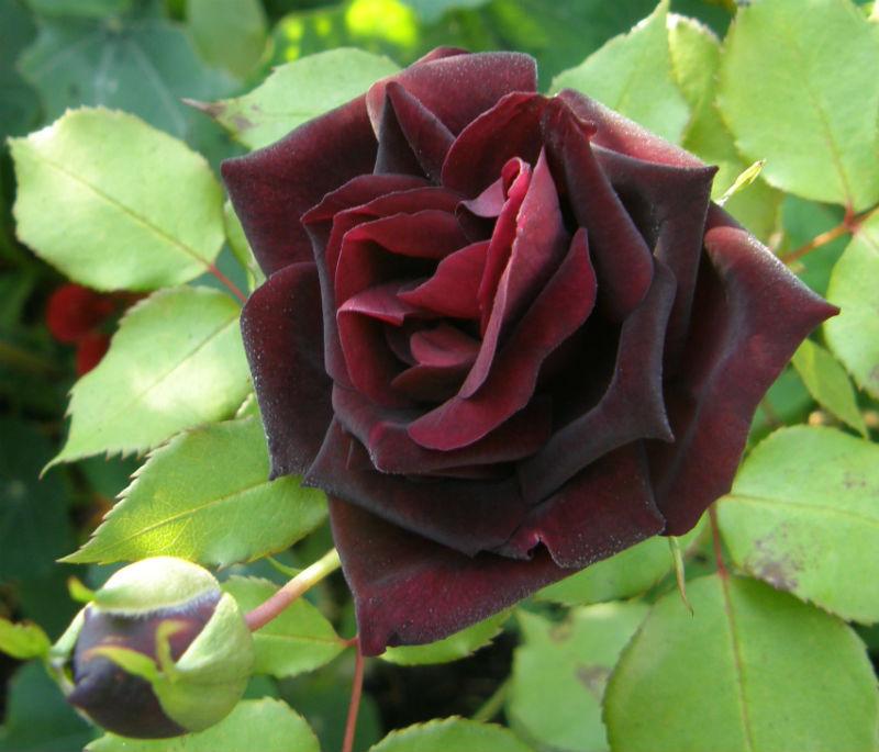 Rose Louis XIV