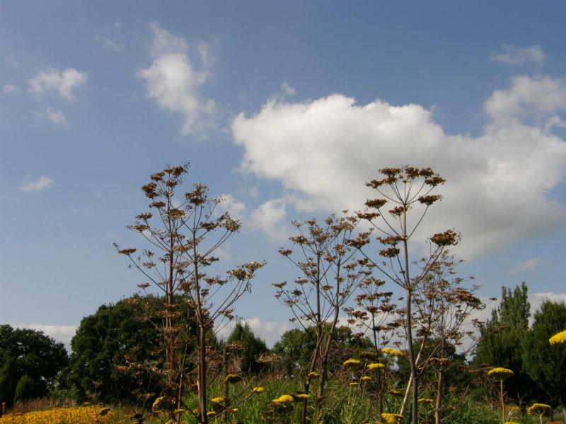 Sussex Prairie Garden Peucedanum verticillare seedheads