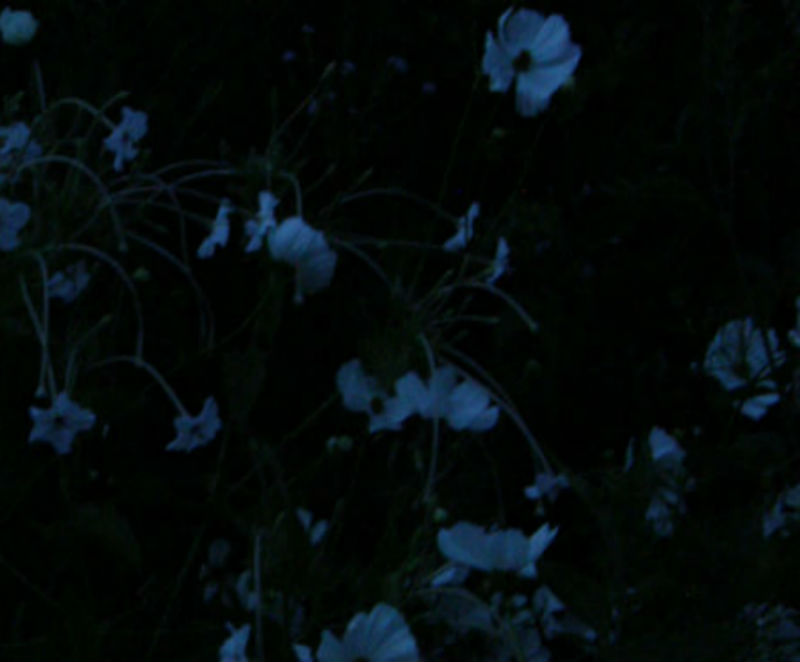 Cosmos, Miirabilis longiflora evening light