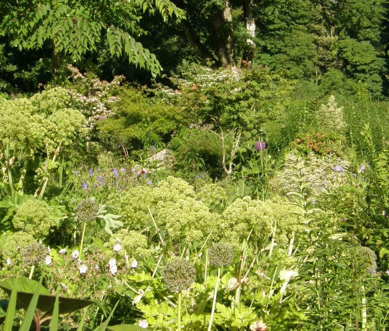 June Blakes Garden Angelica