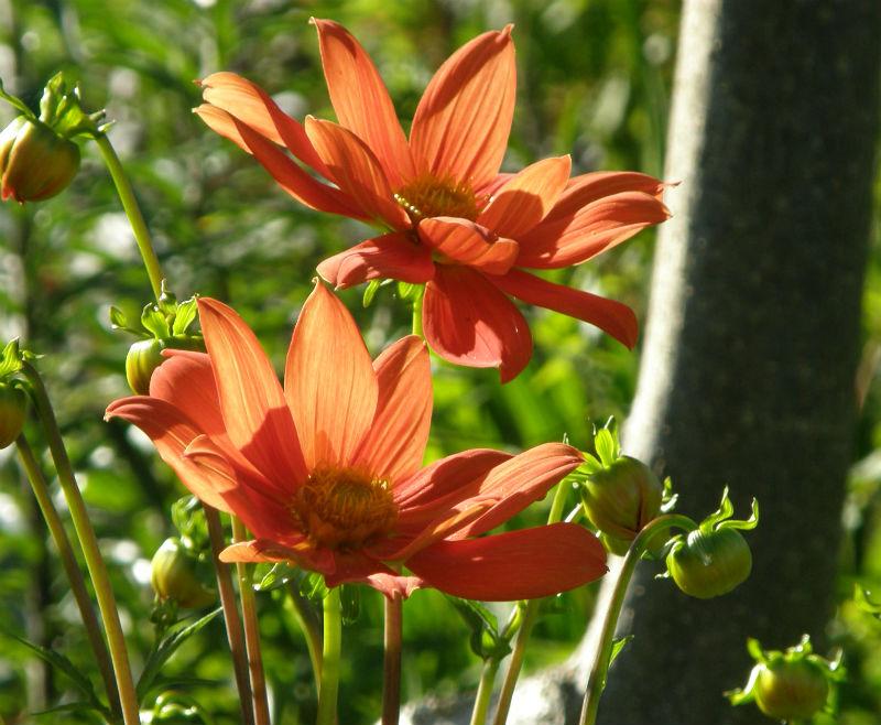 Dahlias June Blake's Garden Wicklow